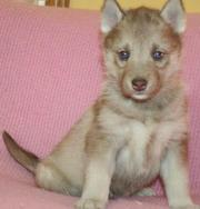 Sweet Siberian husky puppy for adoption