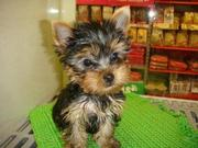 Affection Teacup  yorkie puppy  for adoption