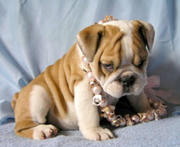ADORABLE BABIES ENGLISH BULL DOG PUPPIES FOR SALE.